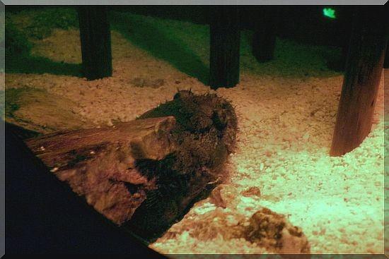 Froschfisch (Allenbatrachus grunniens)
