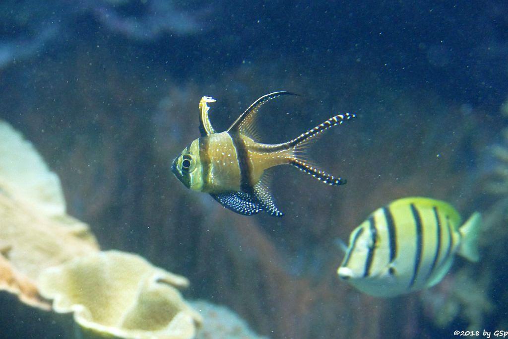 Banggai-Kardinalbarsch (Molukken-Kardinalfisch, Gitterdoktorfisch (Sträflings.Doktorfisch, Sechsbinden-Seebader)