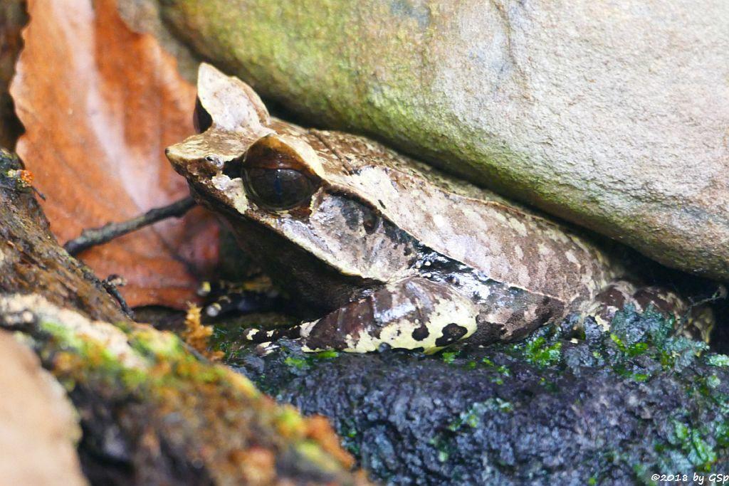 Zipfelkrötenfrosch (Zipfelfrosch, Zipfelkröte)