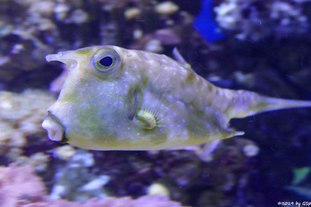 Langhorn-Kofferfisch (Kuhkopffisch, Kuhfisch)