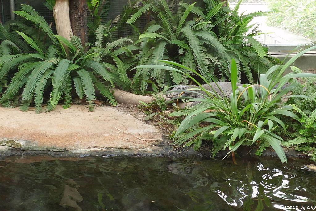 Westafrikanisches Stumpfkrokodil