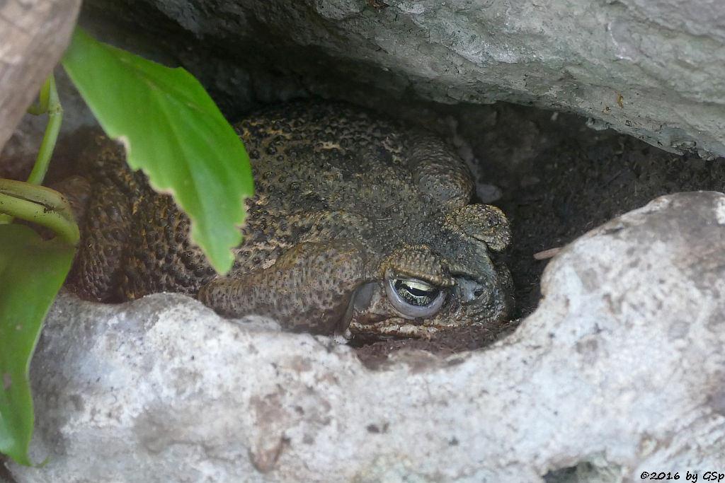 Rokokokröte