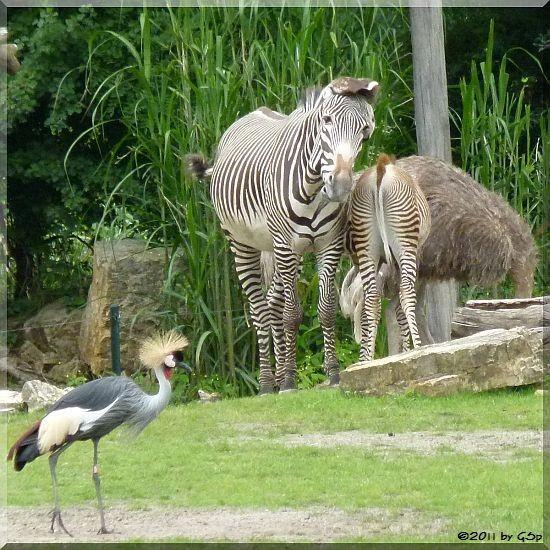 Grévy-Zebra, Blauhalstrauß