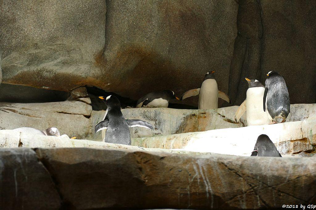 Subantarktischer Eselspinguin