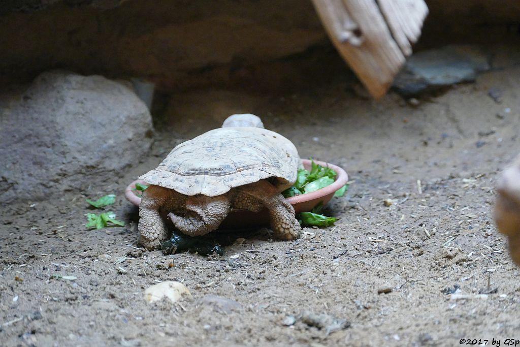 Spaltenschldkröte