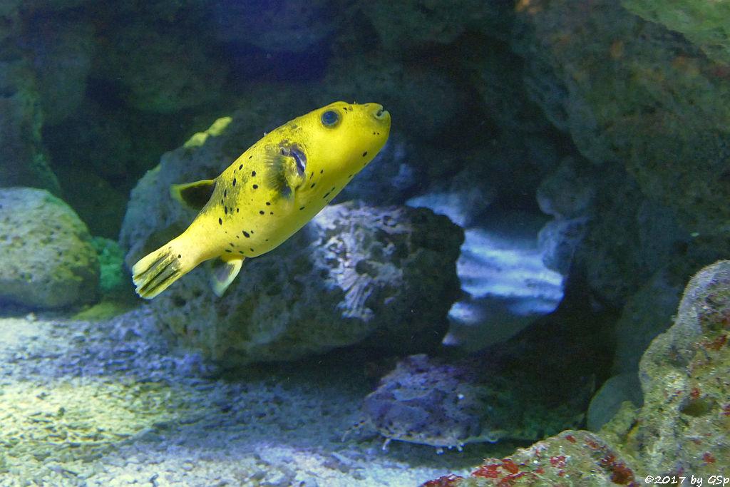 Schwarzflecken-Kugelfisch (Schwarzpunkt-Kugelfisch), Gefleckter Teppichhai (Gepunkteter Teppichhai)