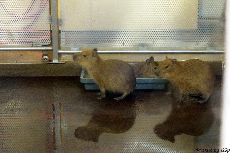 Capybara-Jungtiere, geb. am 5.10.12