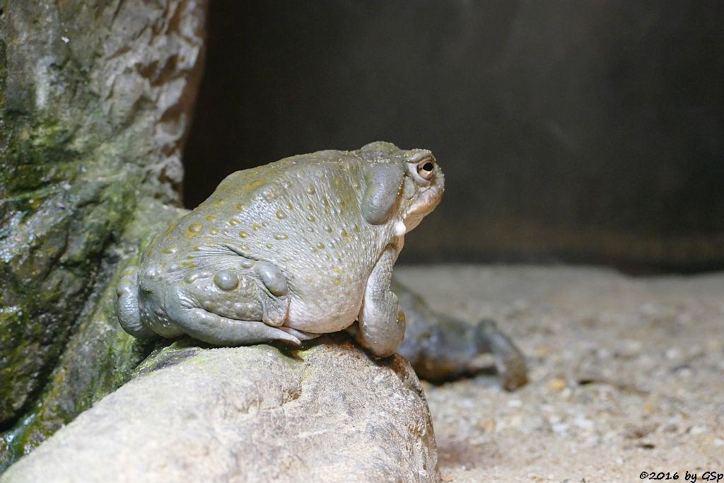 Sonora-Netzkröte (Coloradokröte)