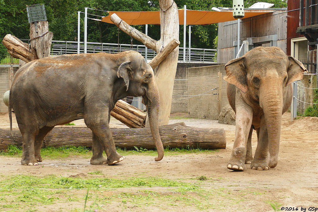 Asiatischer Elefant  RANI und SHANTI