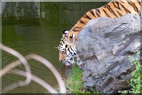 Sibirische Tigerin HANYA