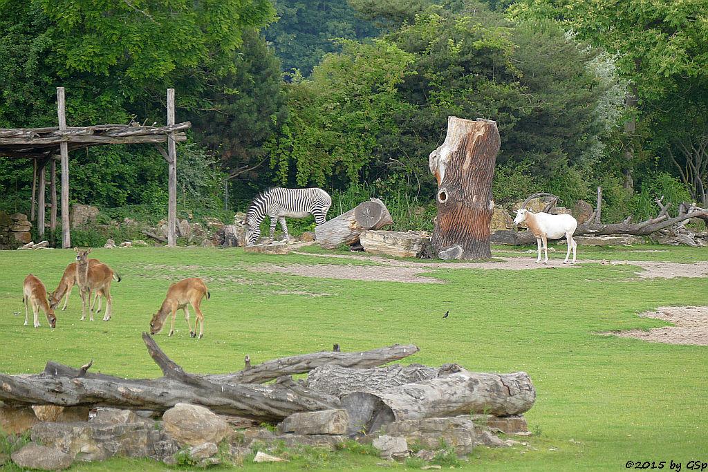 Weißnacken-Moorantilope, Grévy-Zebra, Säbelantilope