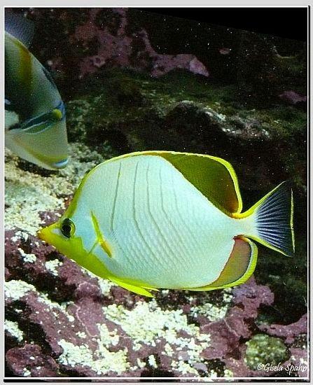 Gelbkopf-Falterfisch