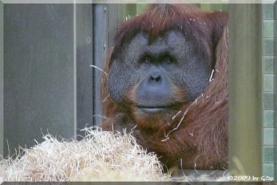 Sumatra-Orang-Utan MANO