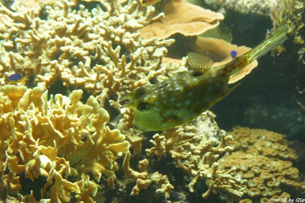 Langhorn-Kofferfisch