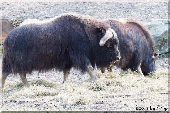Alaska-Moschusochse