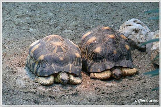 Strahlenschildkröten