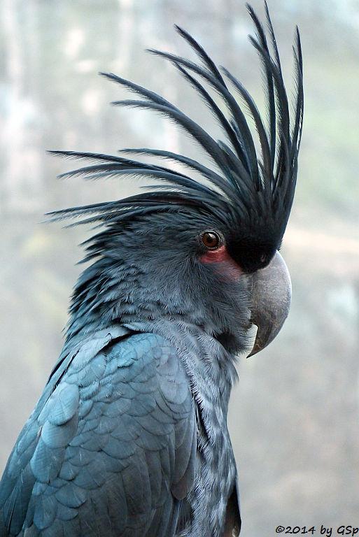 Palmkakadu