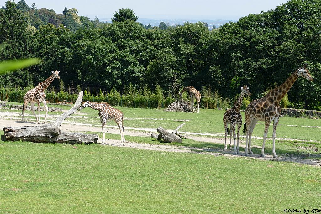Böhm-Steppenzebra (Grantzebra), Rothschildgiraffe (Uganda-Giraffe, Baringo-Giraffe), Impala