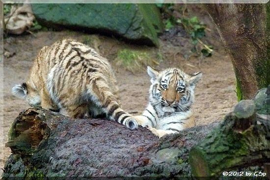 Sumatra-Tiger JEGOR