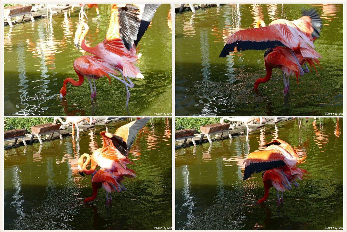Kubaflamingo (Karibischer Flamingo, Roter Flamingo)