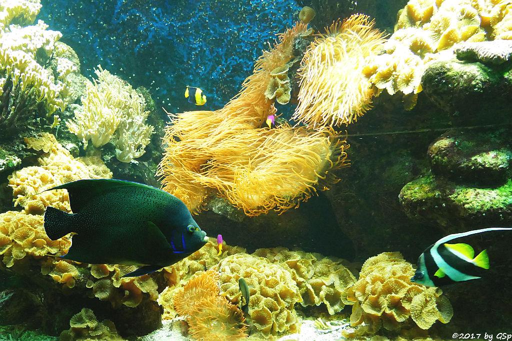 Koran-Kaiserfisch (Koranfisch, Blauer Kaiserfisch), Spitzschnauziger Wimpfelfisch (Gemeiner Wimpelfisch)
