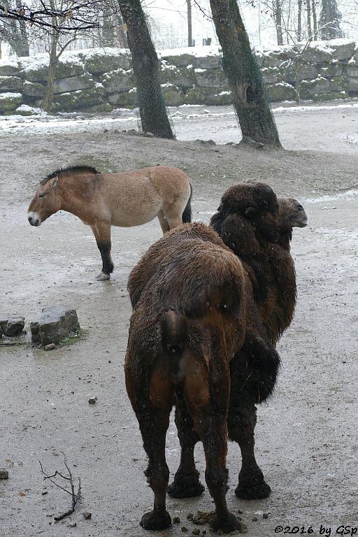 Przewalskipferd, Trampeltier