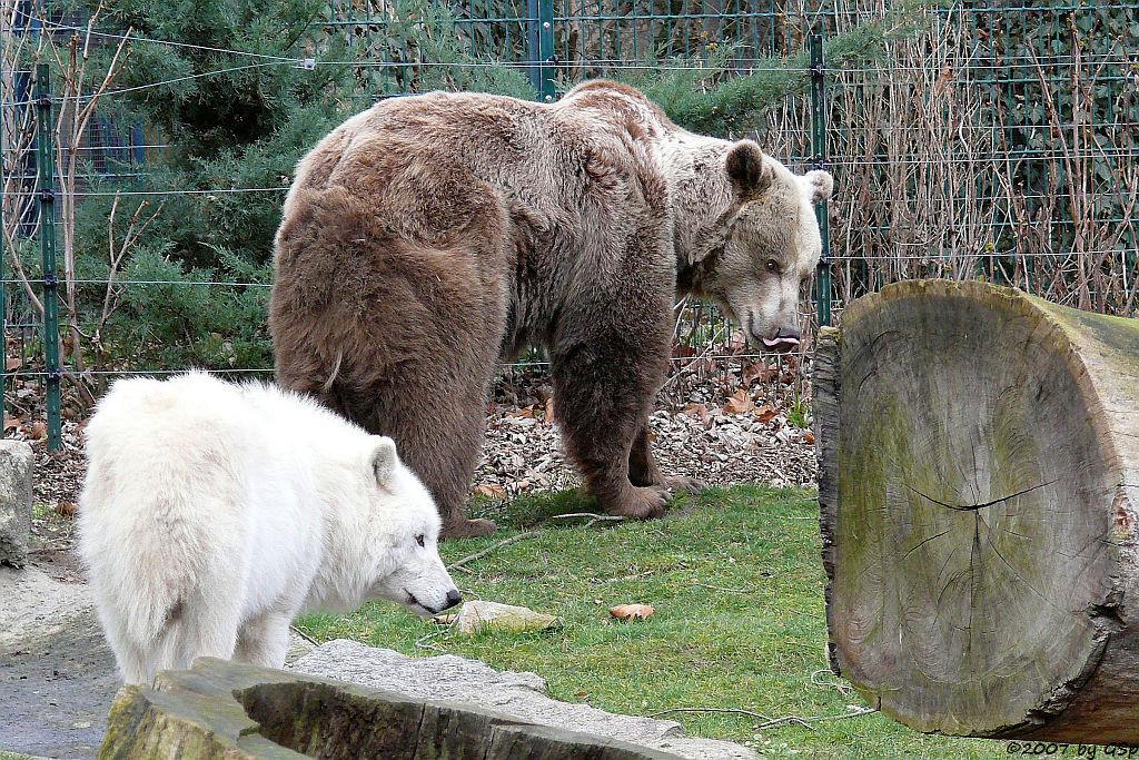 Braunbär und Kanadischer Wolf