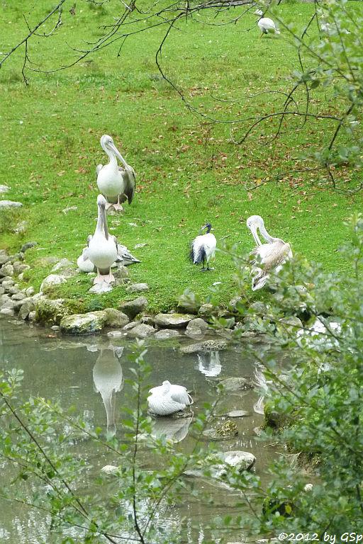 Rötelpelikan, Heiliger Ibis, Streifengans
