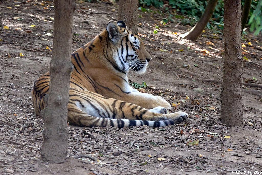Sibirischer Tiger (Amurtiger)