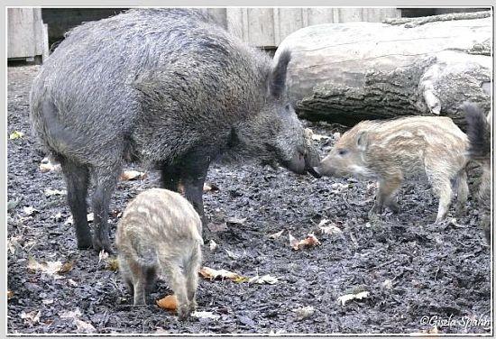 Wilschwein mit Frischling