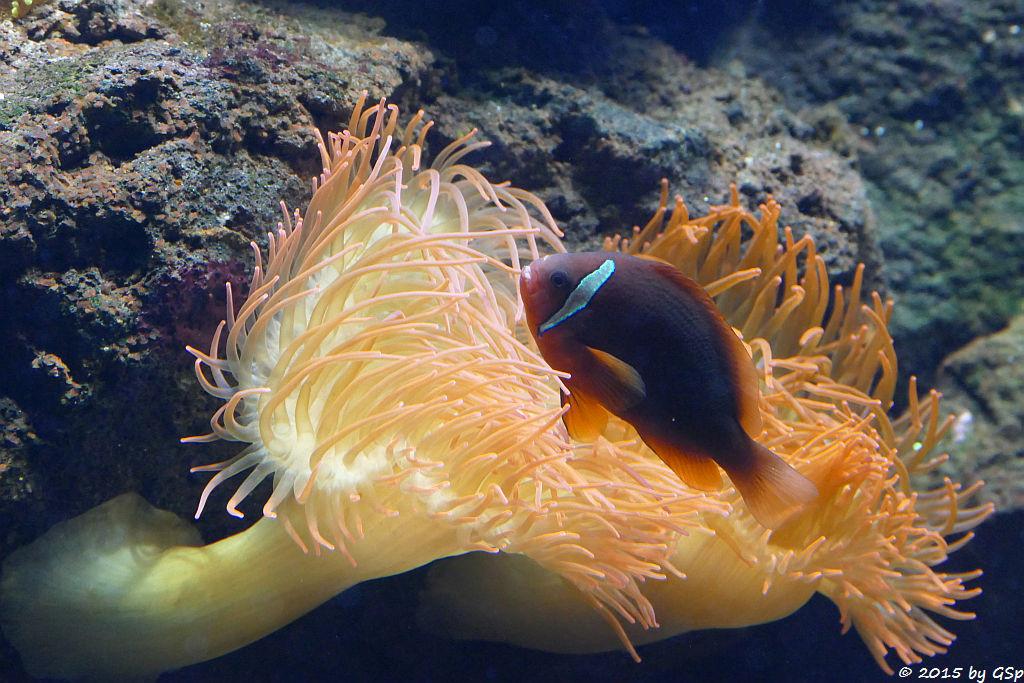 Schwarzflossen-Anemonenfisch, Kupferanemone