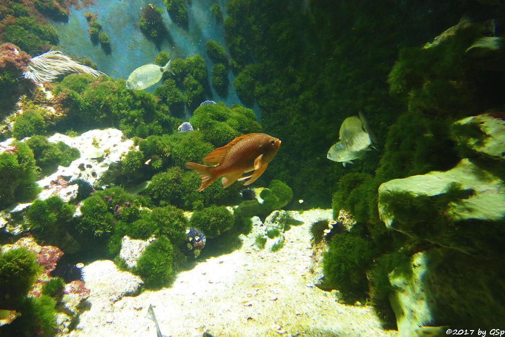 Mittelmeer-Fahnenbarsch (Roter Fahnenbarsch)