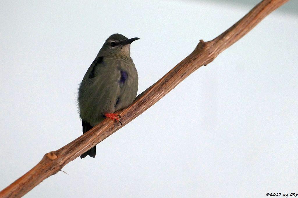 Türkisnaschvogel (Rotfuß-Hongisauger)