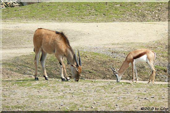 Elenantilope, Springbock