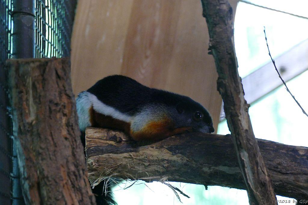 Prevost-Schönhörnchen (Prevosthörnchen)