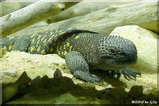 Rio Fuerte-Skorpionskrustenechse