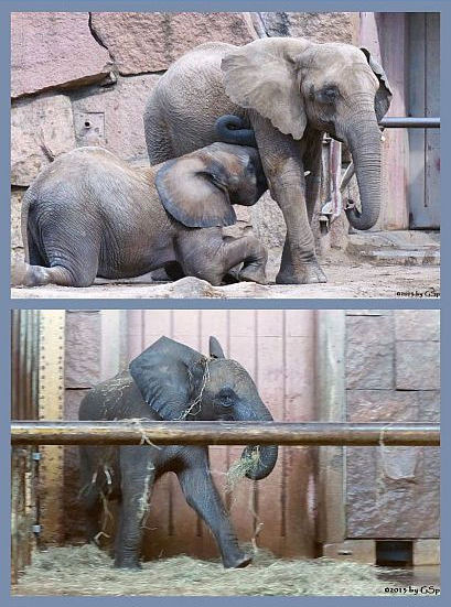 Afrikanische Elefanten - 25 Fotos