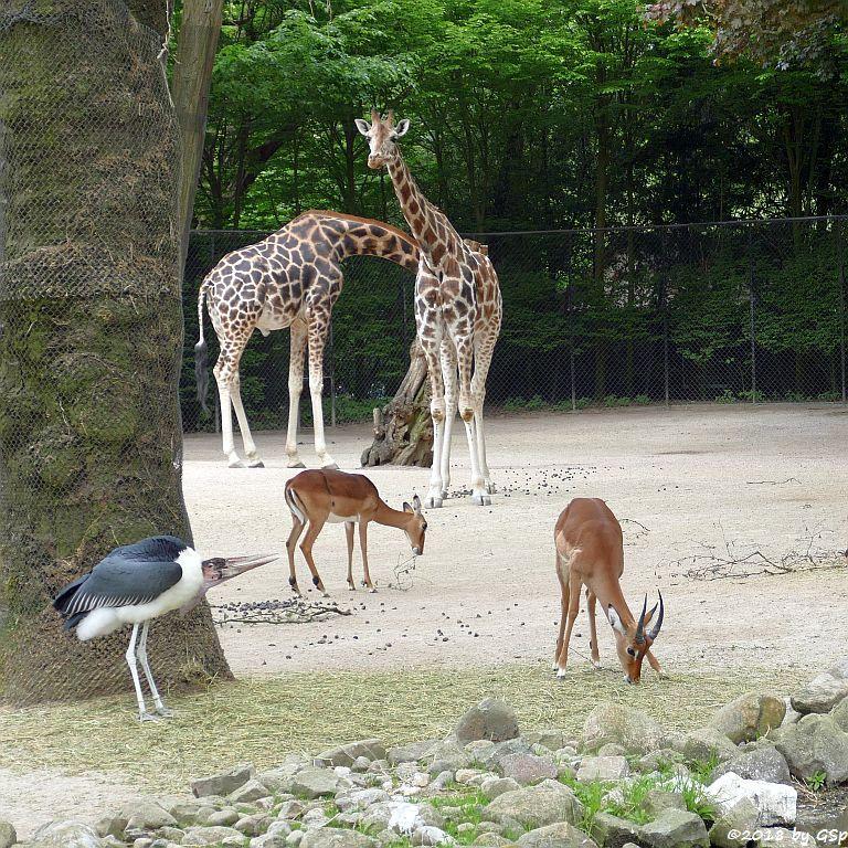 Gewöhnliche Impala (Schwarzfersenantilope, Afrikanischer Marabu, Großer Kudu