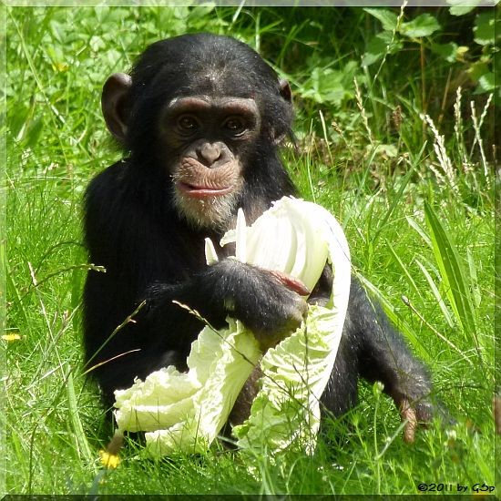 Schimpanse, geb. am 5.7.09