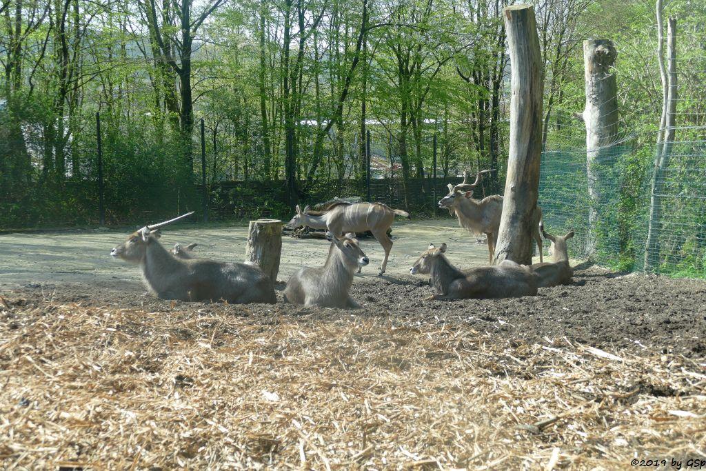 Ellipsenwasserbock, Großer Kudu