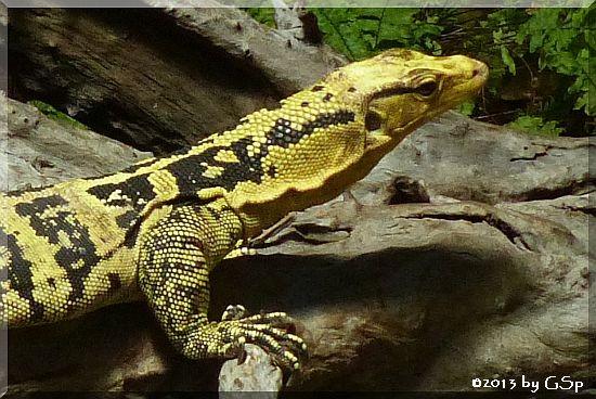 Gelbgebänderter Philippinen-Bindenwaran
