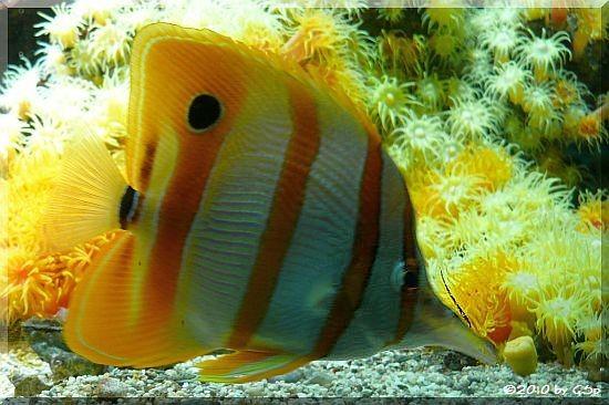 Streifenpinzettfisch
