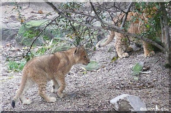 Löwen-Jungtier, geb.am 3.9.07