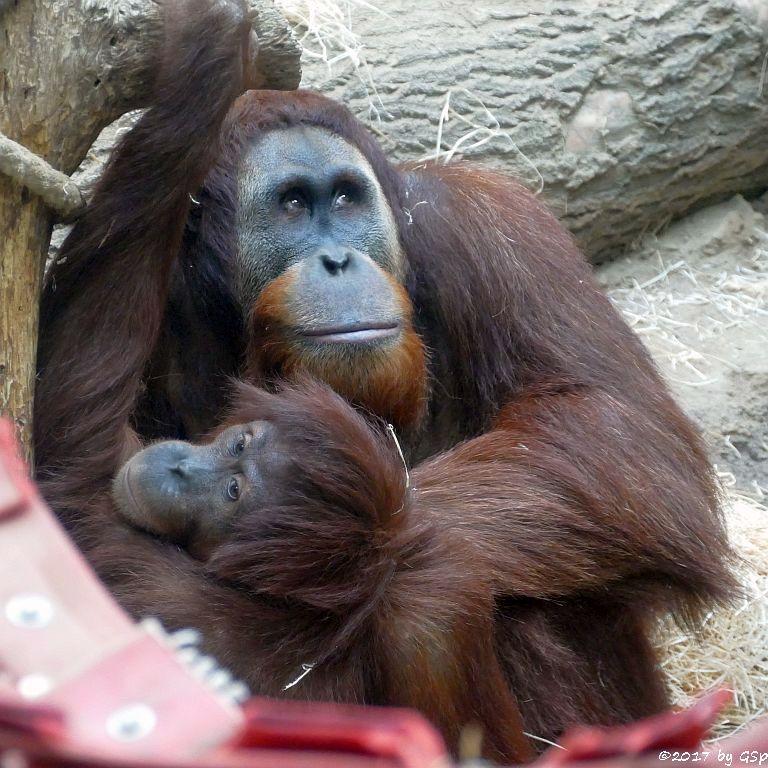 Sumatra-Orang-Utan INDAH und KEMBALI