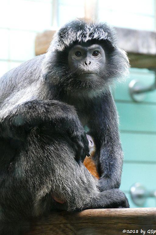 Schwarzer Haubenlangur (Javanischer Haubenlangur, Budeng)