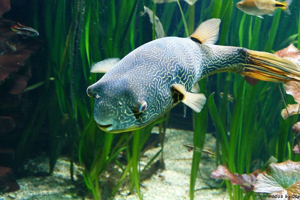 Goldringel-Kugelfisch (Riesenkugelfisch, Teppichkugelfisch)