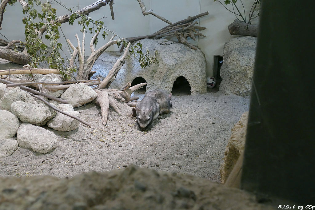 Flachland-Viscacha