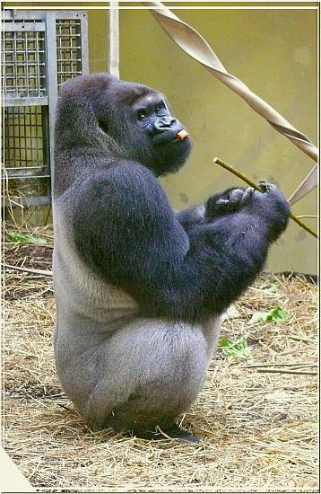 Flachland-Gorilla BOBO