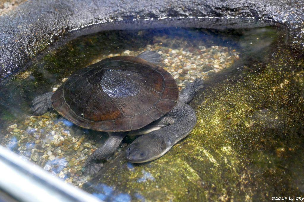 McCords Schlangenhalsschildkröte (Roti-Schlangenhalsschildkröte)