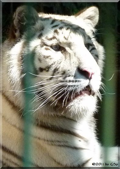 Weißer Tiger